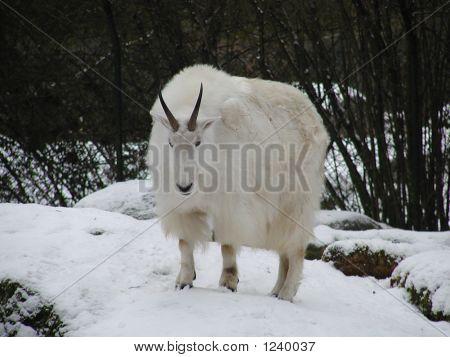 Billy Goat