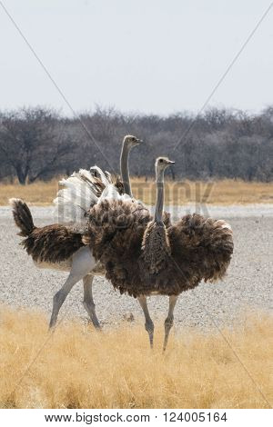 two ostriches at etosha national park, namibia, africa
