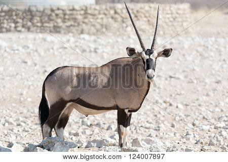gemsbok, oryx, etosha national park, namibia, africa
