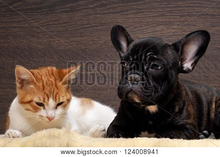 Friendship of cat and dog. Kitten white with red. Dog French Bulldog puppy. The dog is black. Relationship dog and cat. animal Friendship