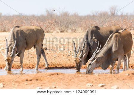 Eland Near Waterhole