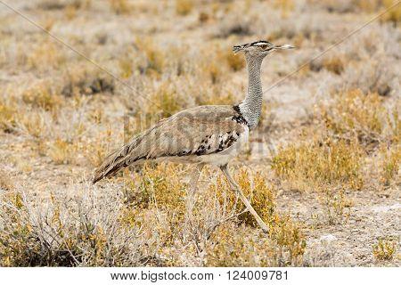 Kori Bustard In Grass Land