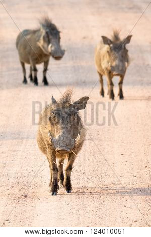 Three wild Warthogs running on gravel road in namibia, africa