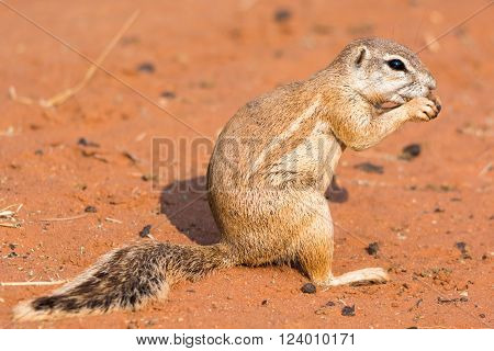 Still Of A Ground Squirrel