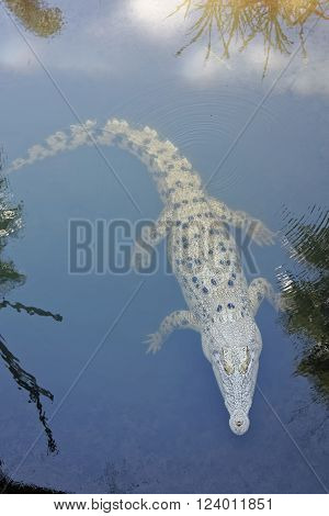 crocodile swimming with eyes out of the water