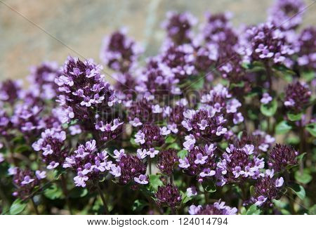 Many purple thyme flower. Plant used in food and herbal medicine