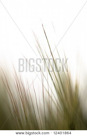 wheat ear close up with place for text or logo inserting