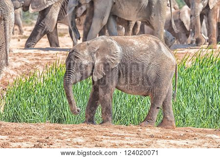 A muddy elephant calf, Loxodonta africana, walking in dung