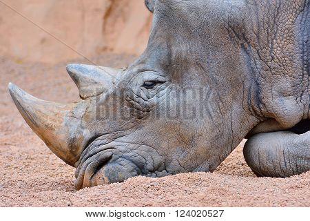 Grey Rhino Lying On Sand