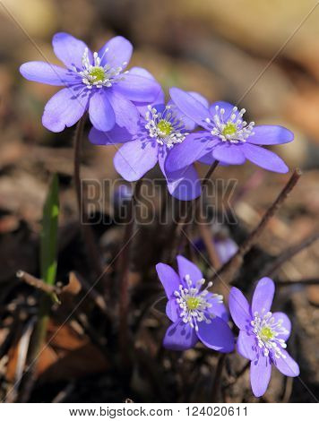 Anemone hepatica blooming in the forest. Spring flowers.
