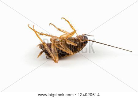 Cockroach lying died isolated on white background.