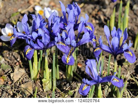 Iris pumila - blue flowers in a garden