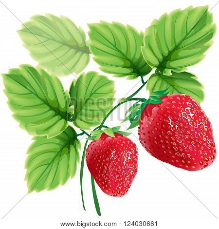 Vector realistic illustration of red ripe strawberries with green leaves.