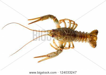 Living two Crayfish closeup on white background green