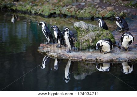 Penguins preening its feathers nearby the water
