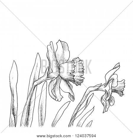 Narcissus flowers in a hand drawn style isolated on white. Vector. Hand drawn artwork. Love concept for wedding invitations, cards, tickets, congratulations, branding, boutique logo, label.