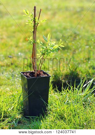 Planting of The Honeyberry or Sweetberry Honeysuckle - Lonicera Kamtschatica on spring garden. Seasonal work in agriculture.