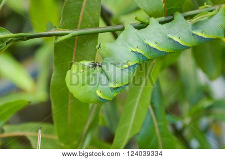 close up green caterpillar on limb , Pergesa acteus