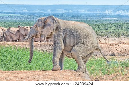 An elephant , Loxodonta africana, covered in mud, climbing out of a waterhole** Note: Visible grain at 100%, best at smaller sizes