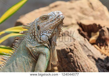 Closeup of green iguana (Iguana iguana) for design
