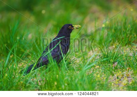 Black thrush  - Turdus merula male bird, sitting in the spring green grass and holding worms in the yellow beak