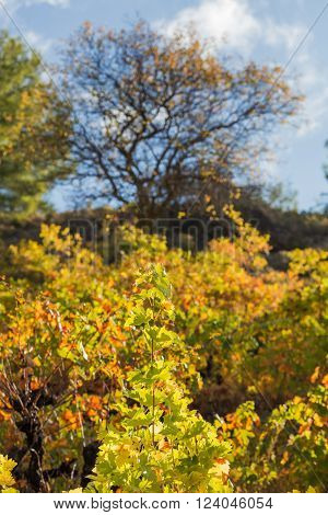Winery Forest vineyard agriculture harverst autumn Troodos Cyprus