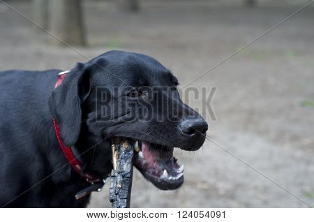 Closeup of a black Labrador Retriever chewing on a stick (with focus on eyes)