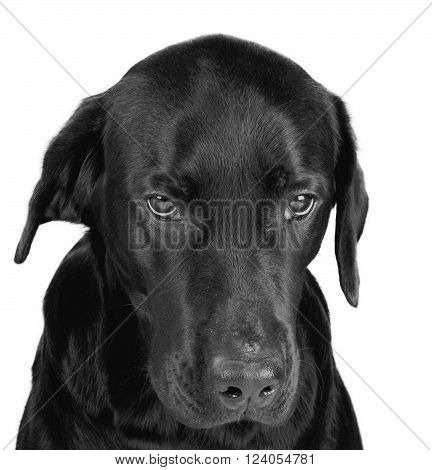 Portrait of a gloomy black labrador (in black and white isolated on white)