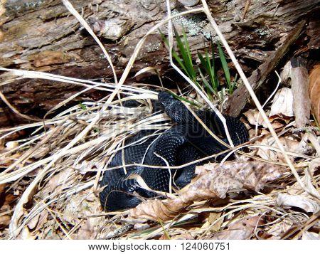 Venomous snake black viper Slovakia Great Fatra