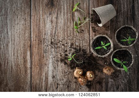 Planting young tomato seedlings in peat pots with some bulbs aside on wooden background. Agriculture, garden, homegrown food, vegetables, self-sufficient home, sustainable household concept. Copy space