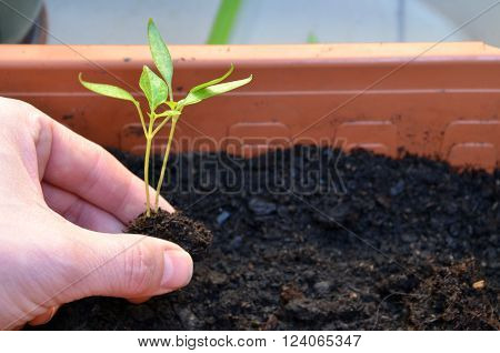 Planting of two green small plants of pepper into flower pot on balcony