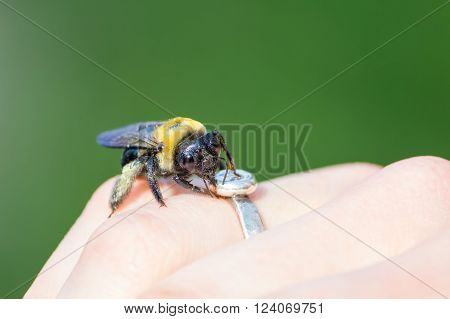 Carpenter bumble Bee sitting on a  hand ** Note: Soft Focus at 100%, best at smaller sizes