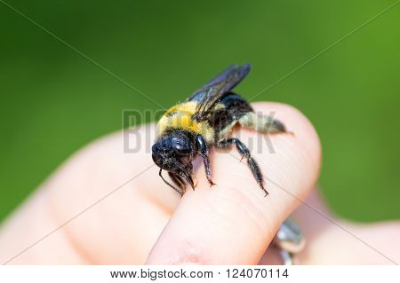 Carpenter bumble Bee sitting on a  hand ** Note: Shallow depth of field