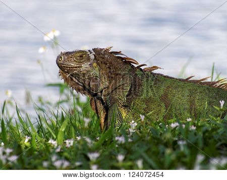Molting Green Iguana in grass by a lake