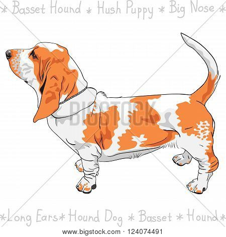 Tan and White dog Basset Hound breed standing sideways, his tail is up