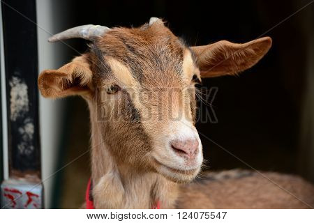 A cute nanny goat posing for a portrait.