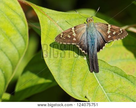 Long-tailed skipper butterfly with wings open on green leaf of Firebush plant ** Note: Soft Focus at 100%, best at smaller sizes
