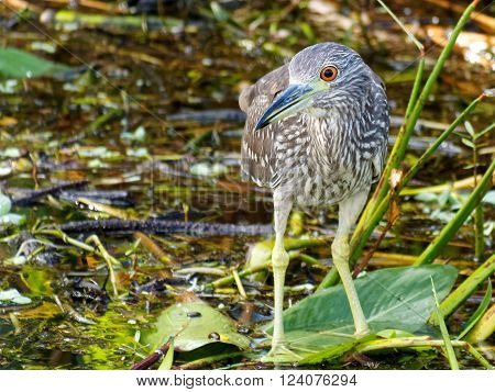 Front view of Juvenile Black-crowned Night-heron with head partially turned Florida Wetlands ** Note: Soft Focus at 100%, best at smaller sizes