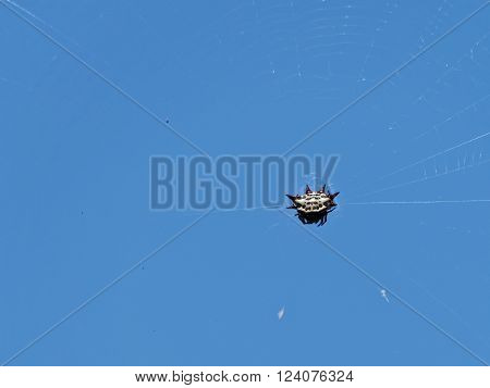 Colorful Spiny Orb-weaver spider on its web against clear blue sky