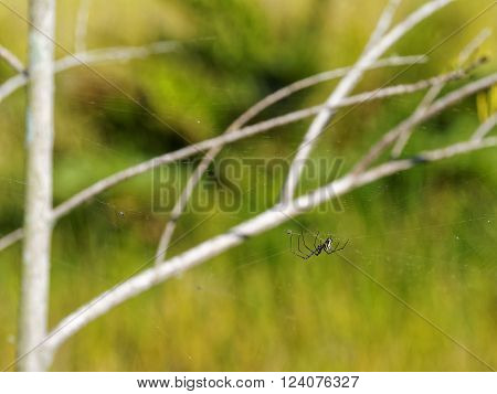 Colorful Black White andYellow Orb-weaver Spider on Web