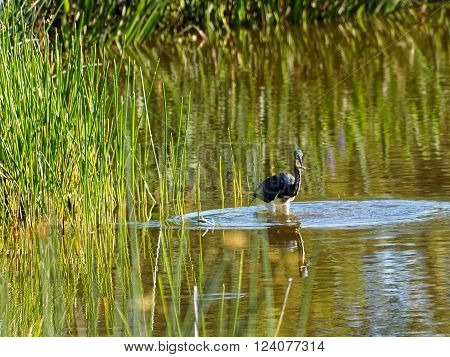 Tricolored Heron in water of Florida Wetlands with a fish in its beak