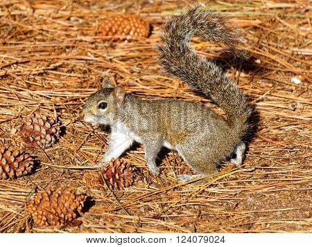 Eastern Gray Squirrel on ground with pine needles and pine cones