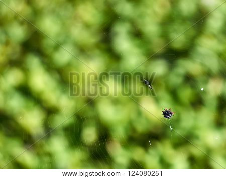 Orb Weaver Spider on web with wrapped insect