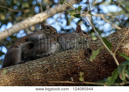 Pair of Breeding Eastern Gray Squirrels mating on branch of a tree
