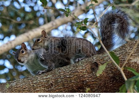 Pair of Breeding Eastern Gray Squirrels mating up on branch of a tree