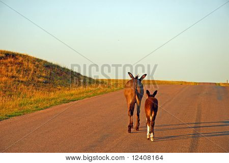 Burro and foal walking uphill on road