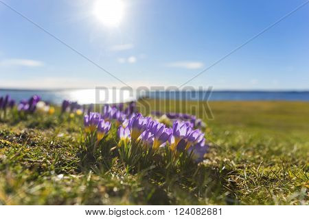Beautiful purple and yellow crocus with blue lake and sky in background