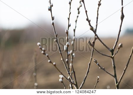 Beautiful pussy willow flowers branches growing on willow. Nature background