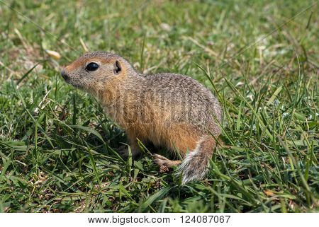 Young Gopher in a green summer grassland.