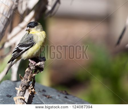 Lesser Goldfinch, female, green-backed subspecies, perched on a branch.